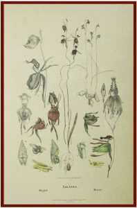 An 1888 reprint of one of his many prints. The species featured are Caleana major (Flying Duck Orchid) and Paracaleana minor (Little Duck Orchid)