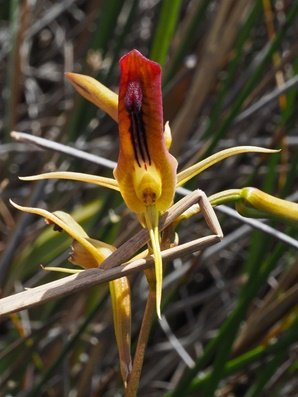 ld-cryptostylis-subulata-with-labellum