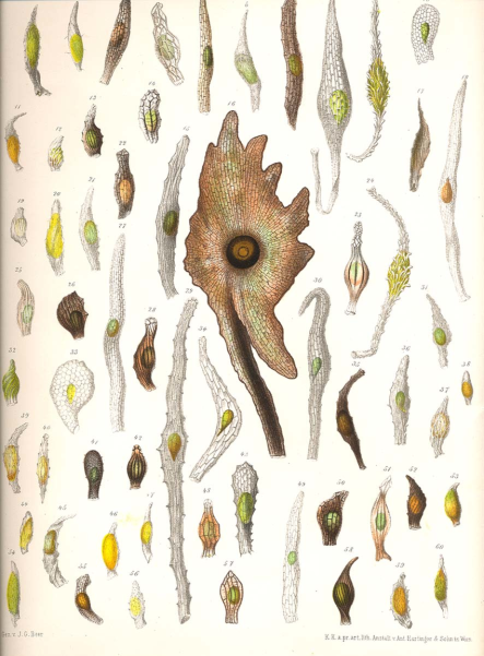 Fig-1-Orchid-seeds-Beer-1863
