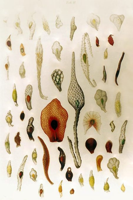 Seeds_of_orchids_(J.G.Beer_-1863)