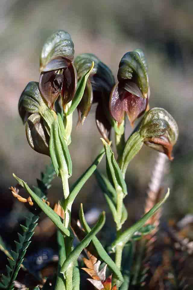 Pterostylis crebriflora AB.jpg
