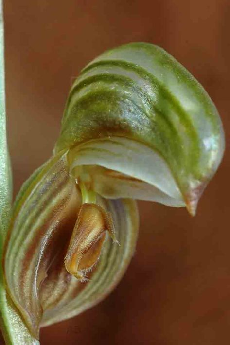 Pterostylis sp small bands AB