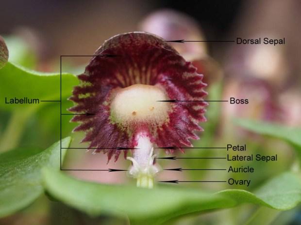 Corybas demenicus