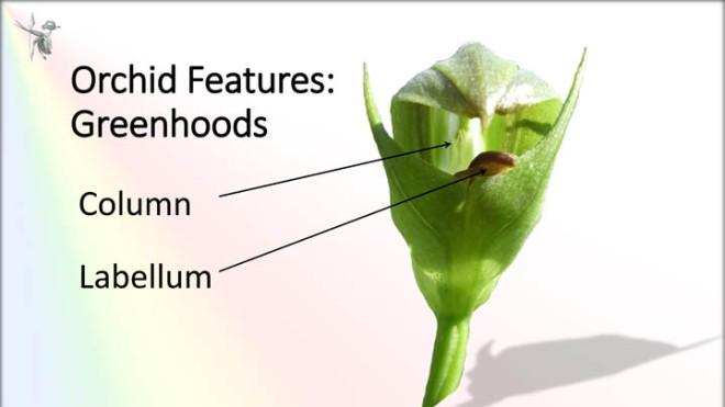 Greenhood