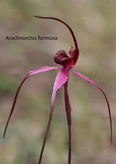 1803 A4 sm JF Arachnorchis formosa