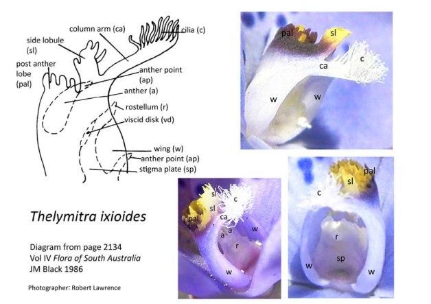 T juncifolia diagram photos sm